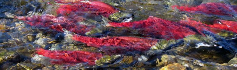 Spawning sockeye. Image courtesy of Government of Canada DFO site.